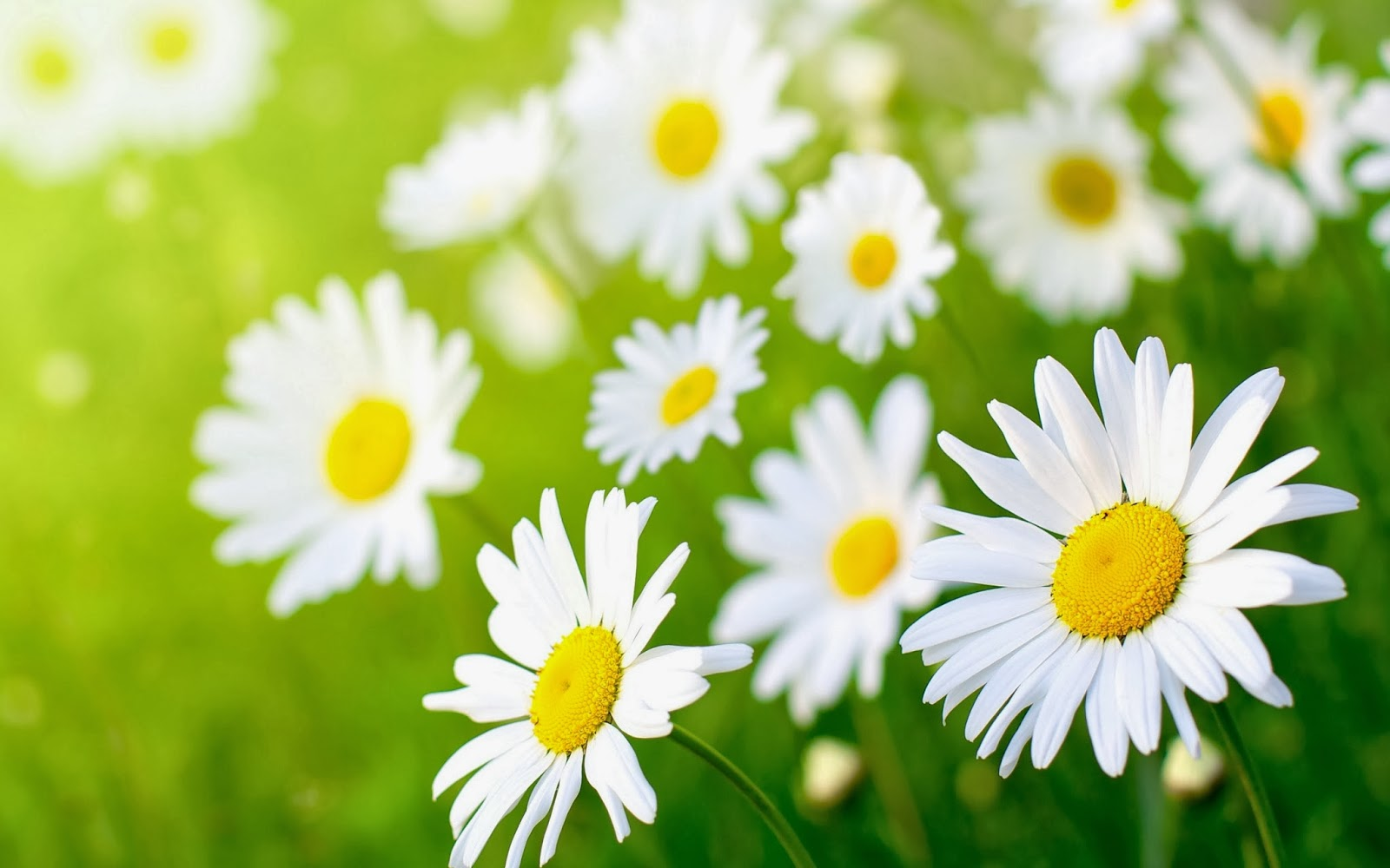 Daisies flower meaning image collections flower wallpaper hd why daisy daisy life posted on april 19 2017 april 20 2017 by denikuul izmirmasajfo image izmirmasajfo Image collections